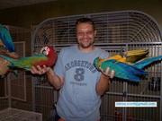 Scarlet macaw 300GBP